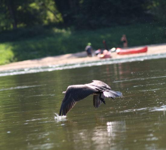 oiseau loire canoe